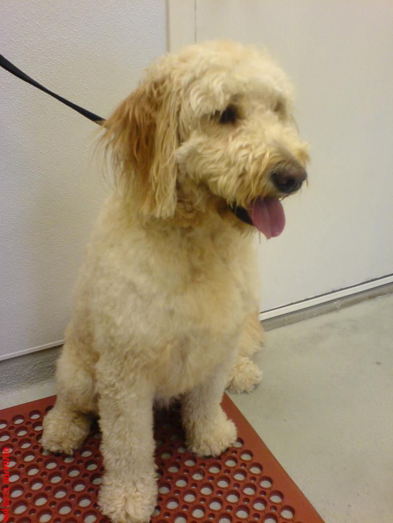 Bailey the GoldenDoodle enjoys a trim and bath.